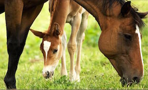 mare-of-young-foal_300