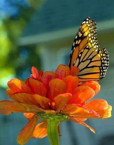 monarch links