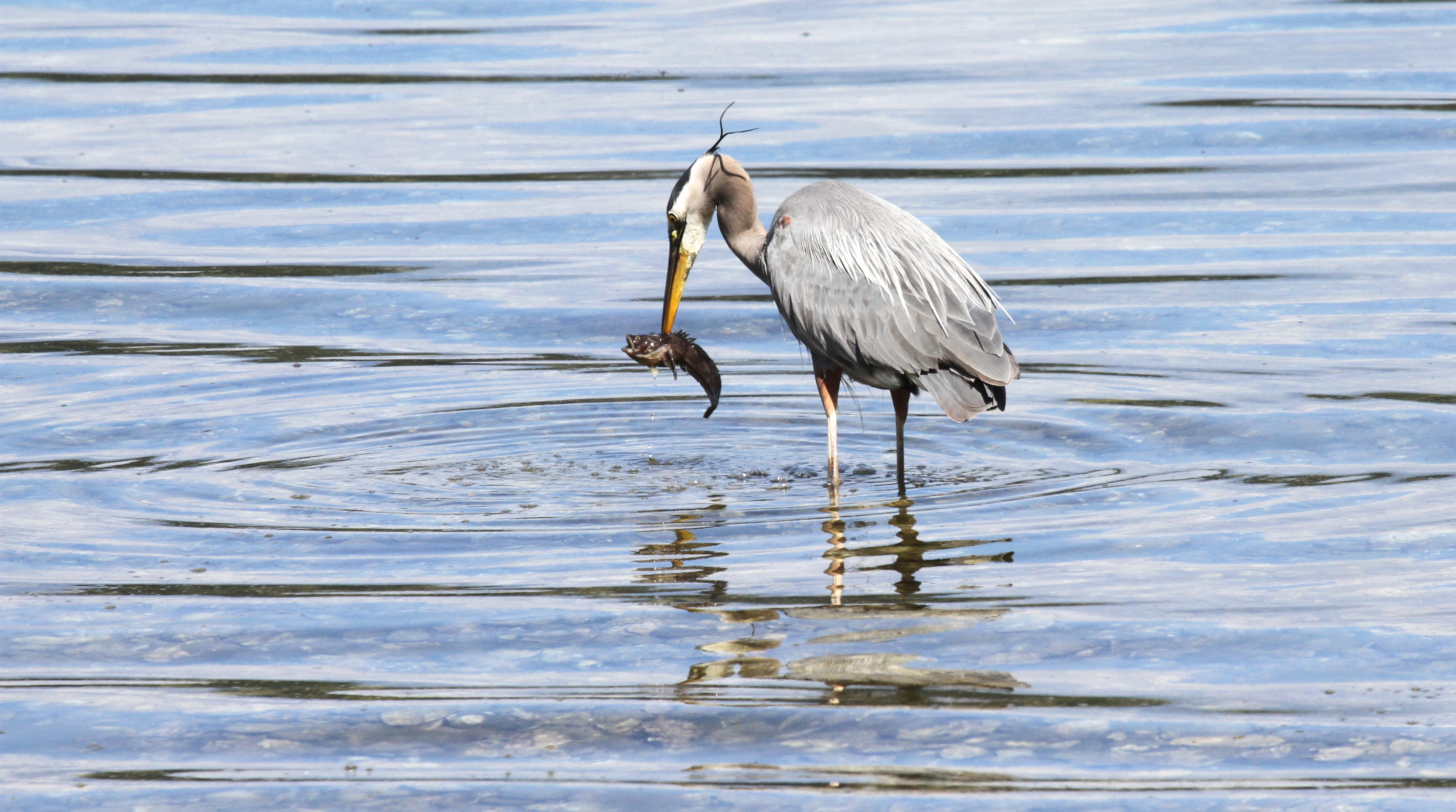 Heron with Fish _061415 links