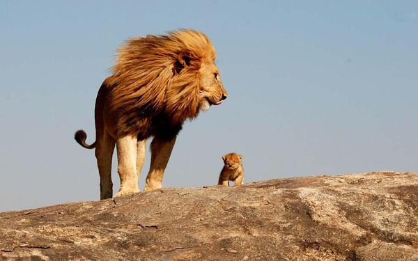 Lion and cub links