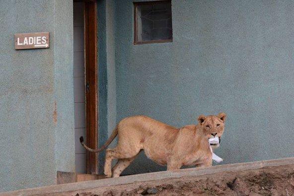 LionessTP links