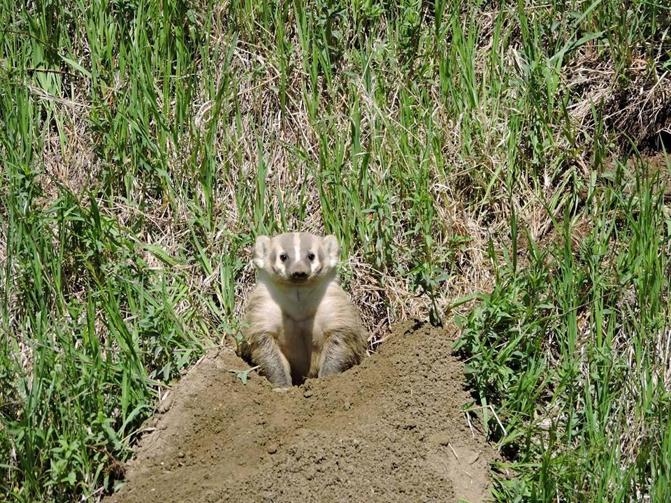 badger links
