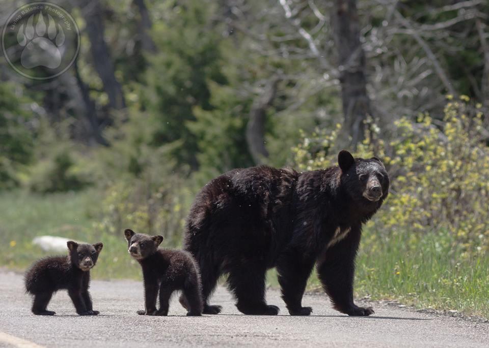 black_bear_family links