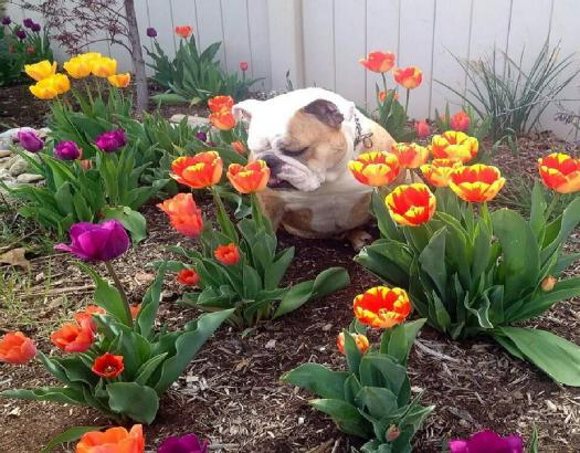 bulldog_sniffing_flowers links