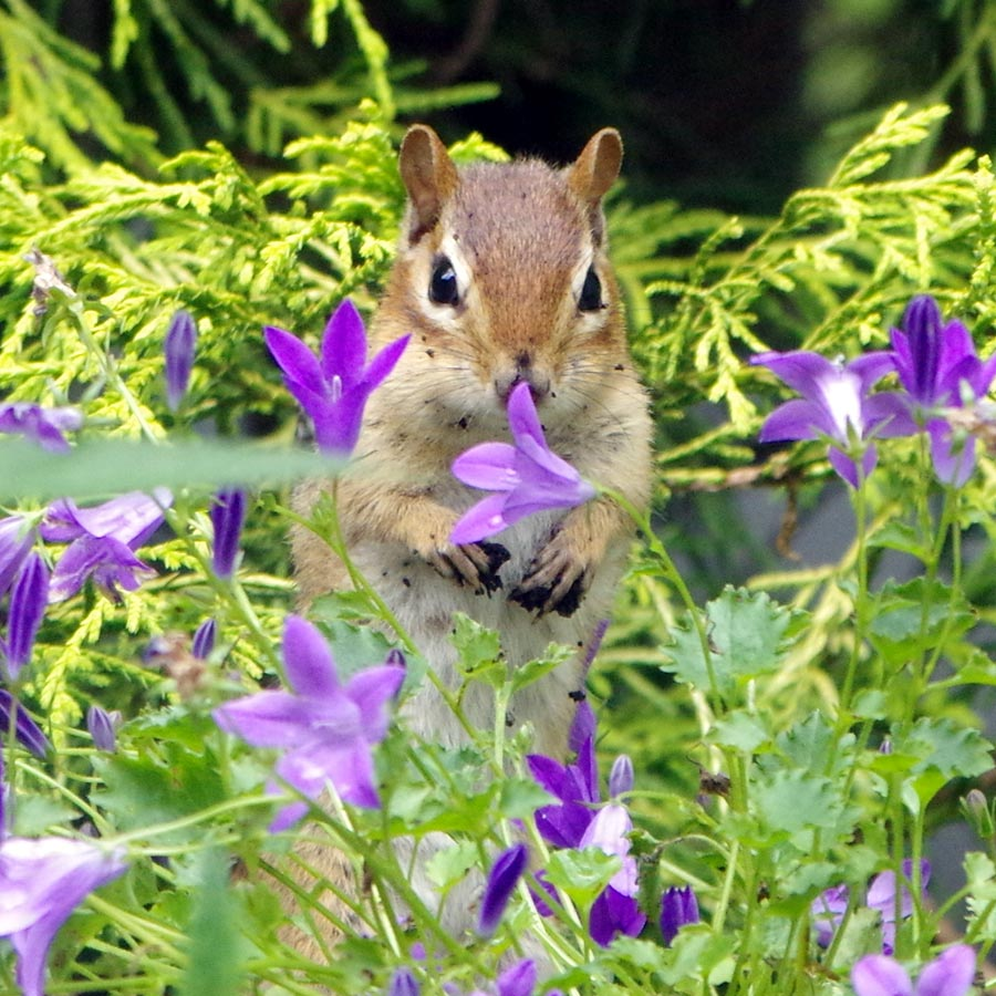 chipmunk wth bellflower links