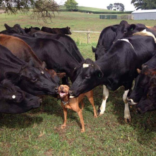 cows_and_dog
