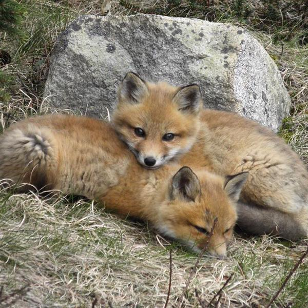 fox cubs in Maine links