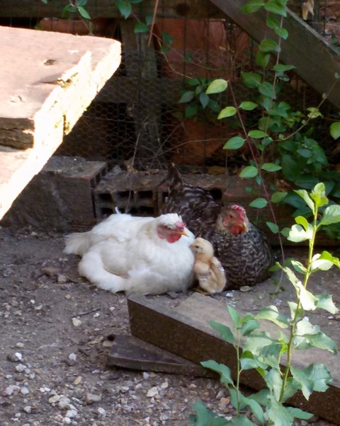 hens and a chick links