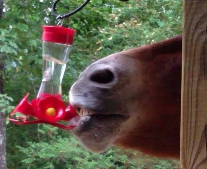 horse_drinking_from_hummingbird_feeder links