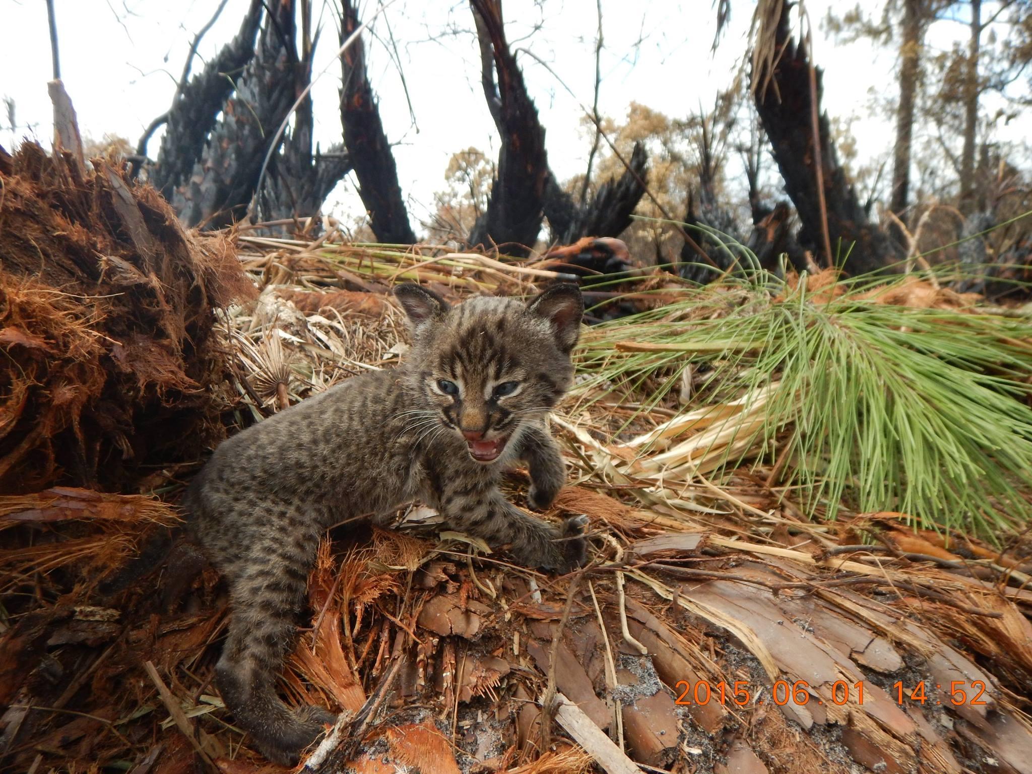 snarling_bobcat_kitten links