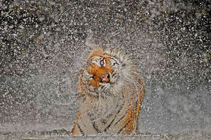 wet tiger links