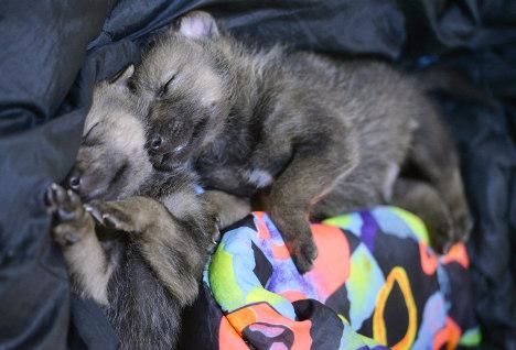 wolves sleeping links