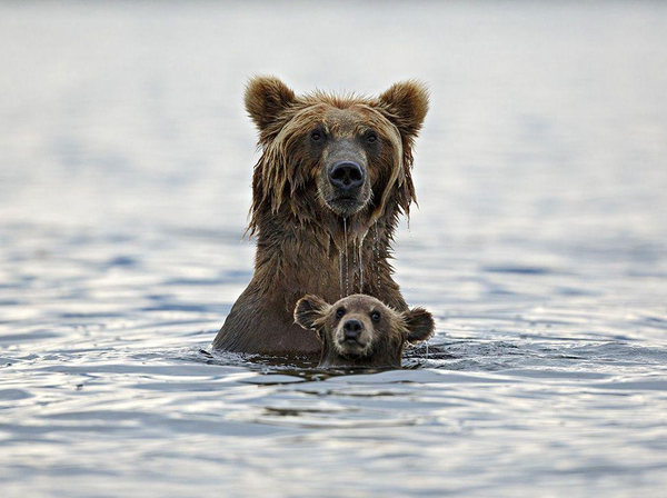 Bathing bears links