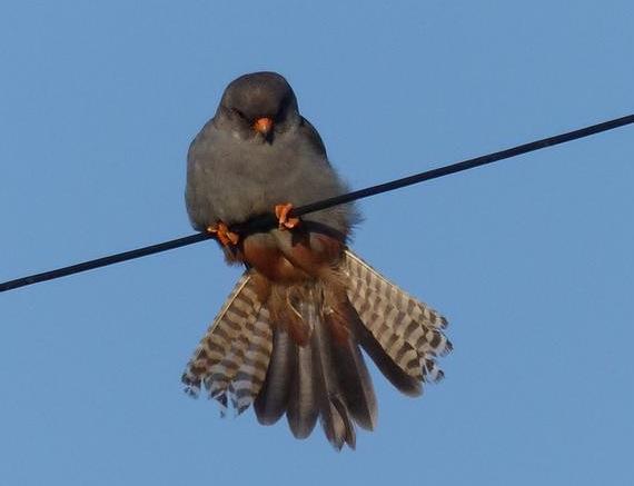 Falcon links