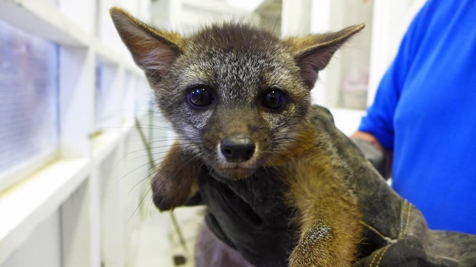 fox_kit1 links