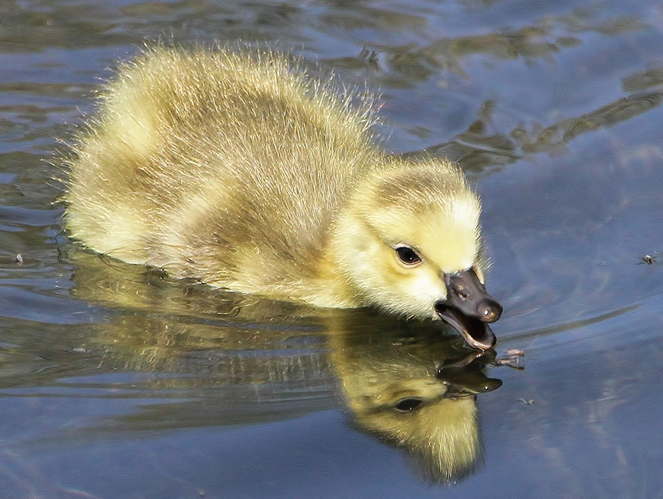 gosling links