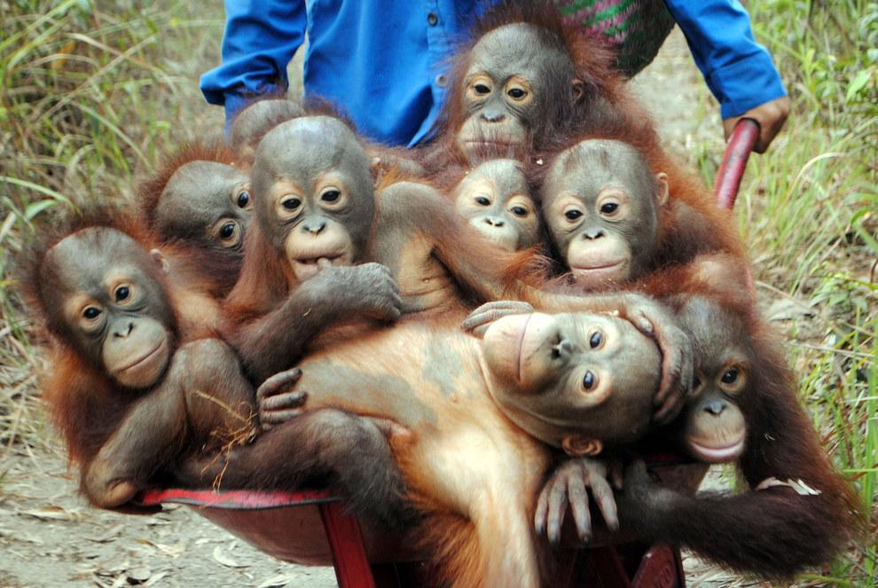 orangutan links