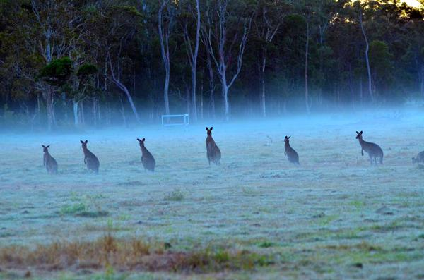 roos in Queensland links