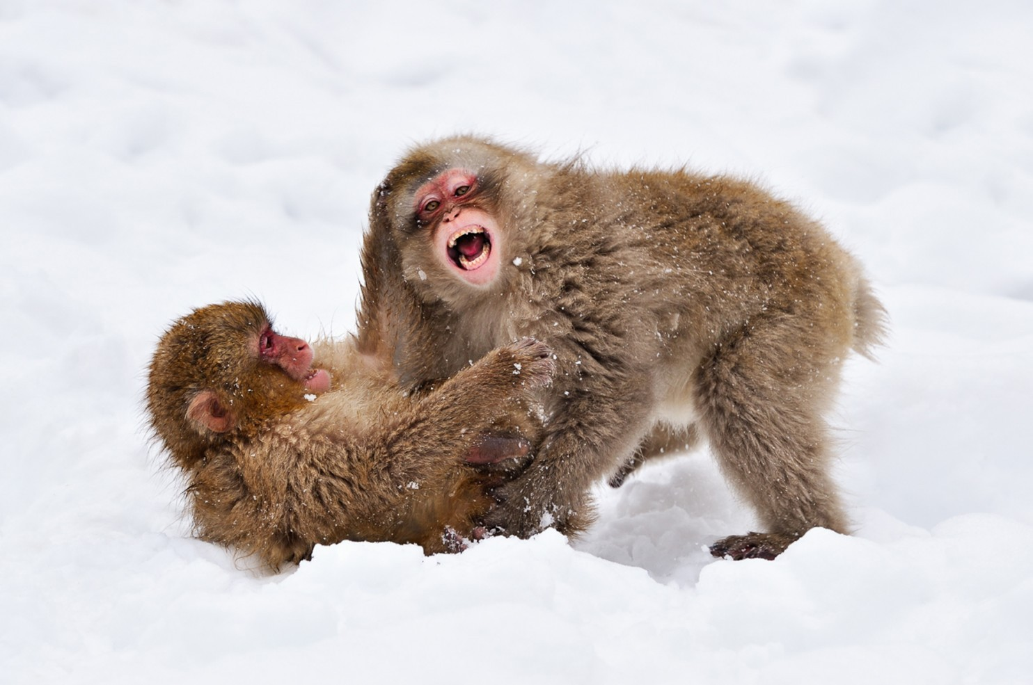 snow monkeys links