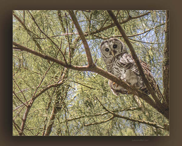 UCF Owl