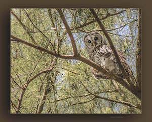 UCF Owl_300