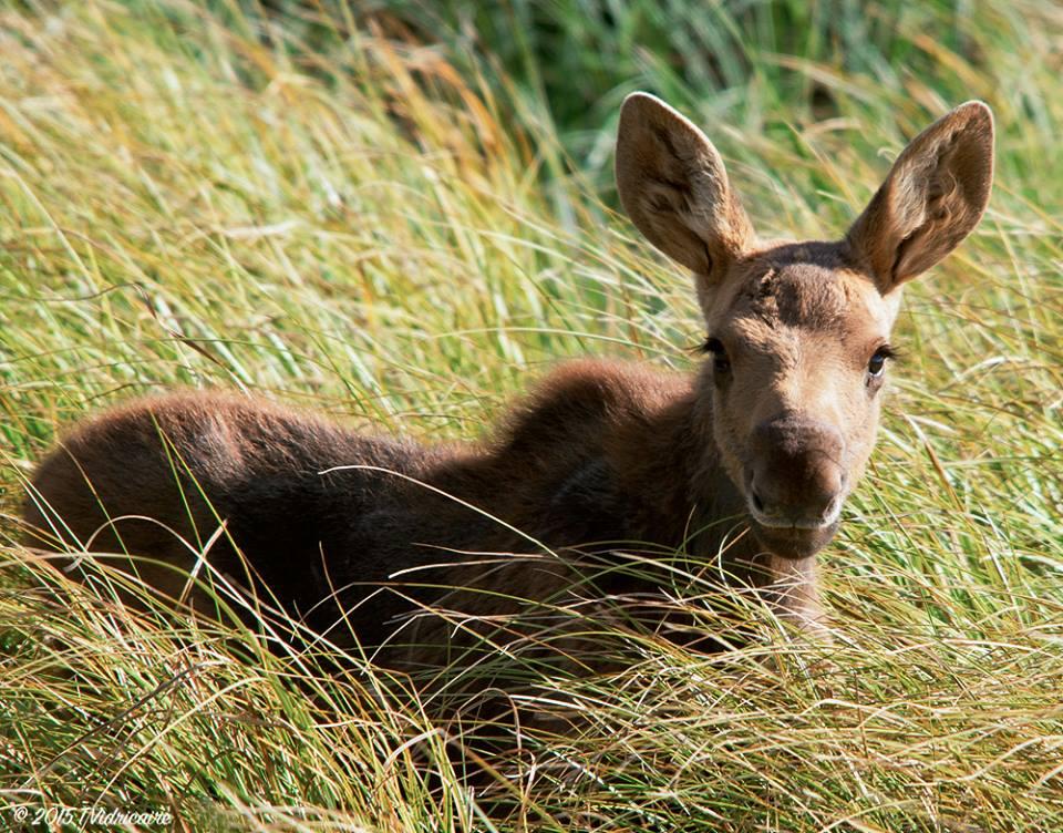 baby_moose. links