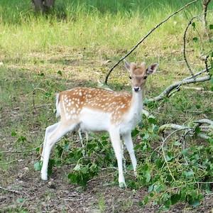 bambi_300