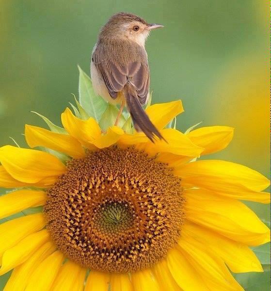 sunflower_bird