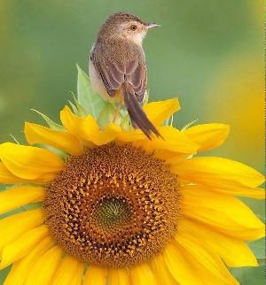 sunflower_bird_300