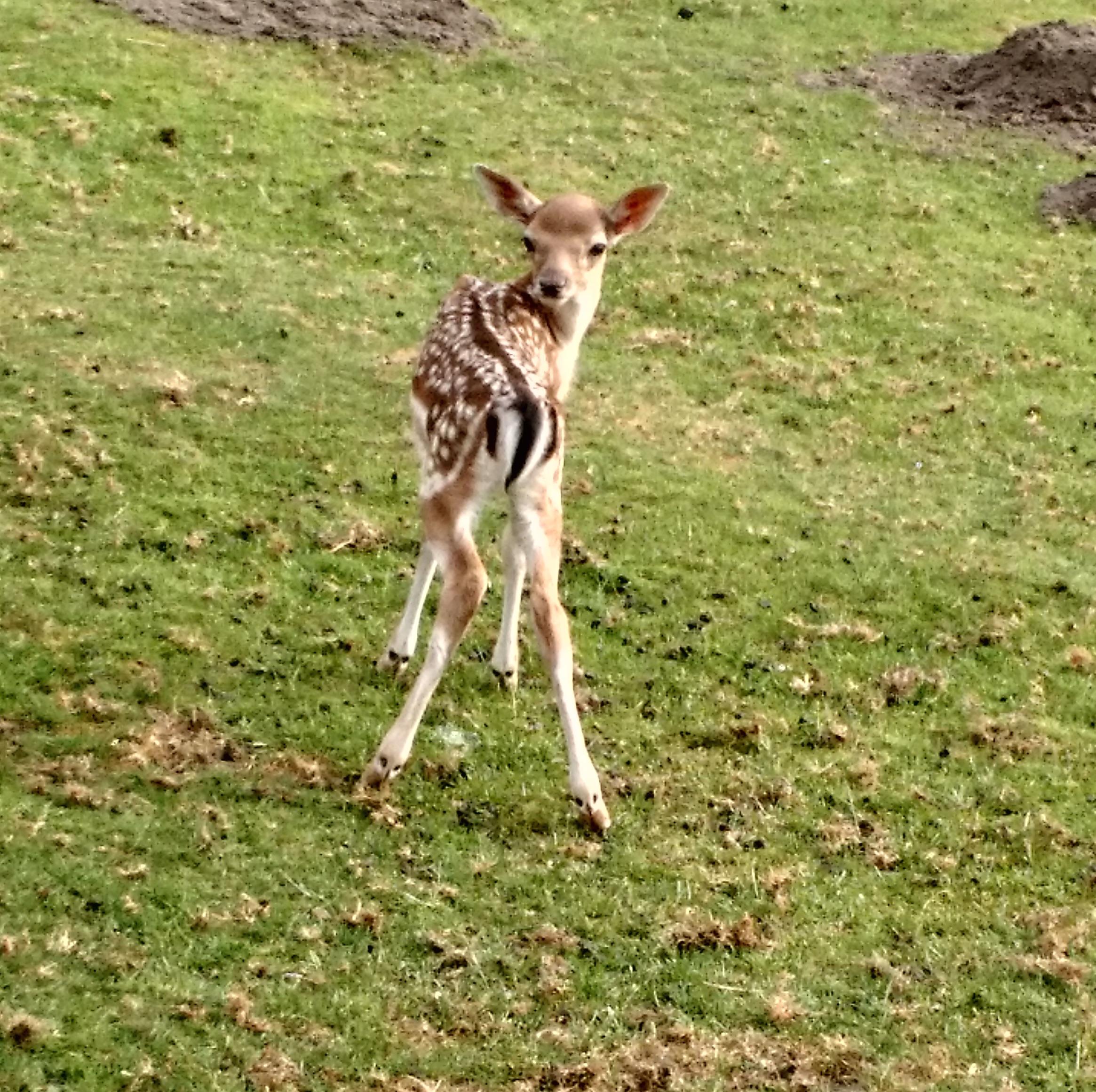Baby Deer links