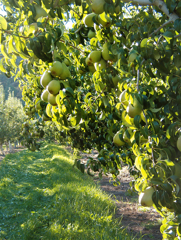 Pear Tree Wenatchee WA