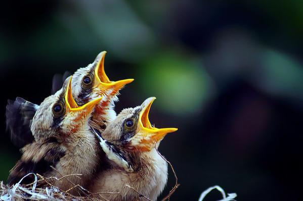 links baby birds