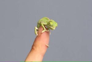 chameleon_300