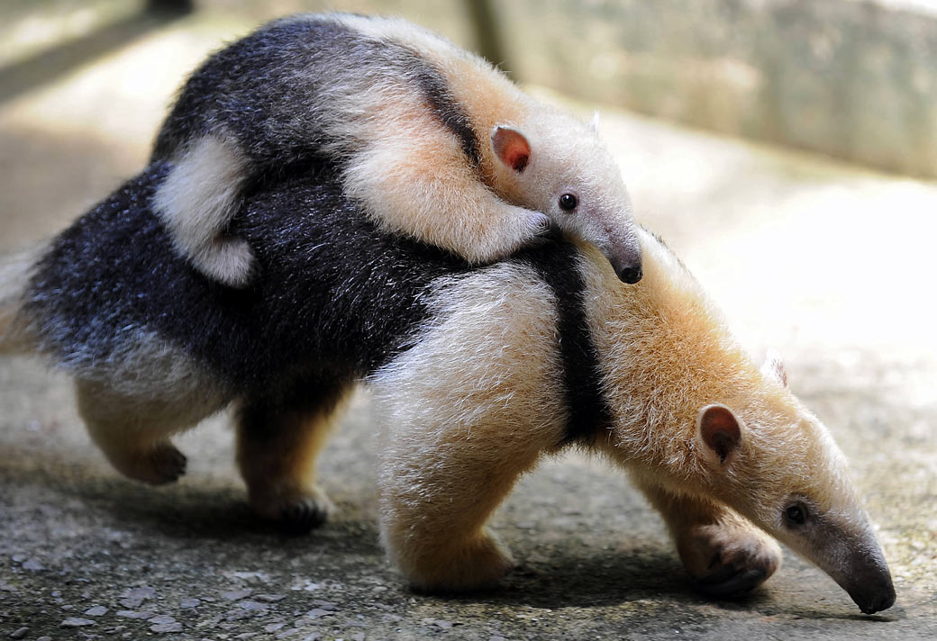 cute anteater links