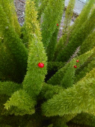 foxtail fern
