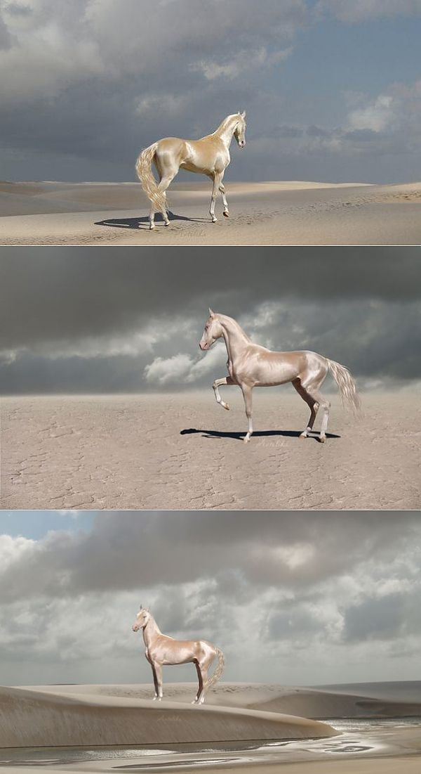 golden akhal teke links