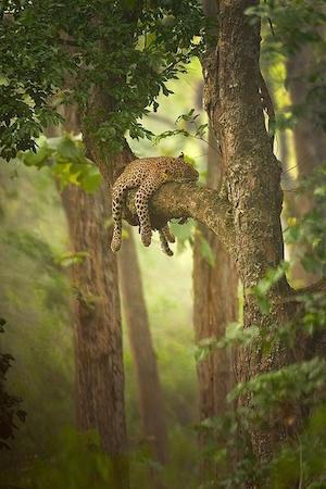 leopard_300