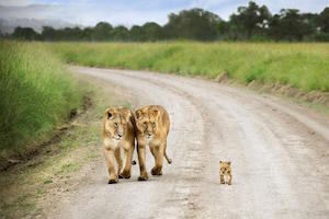 lions_300