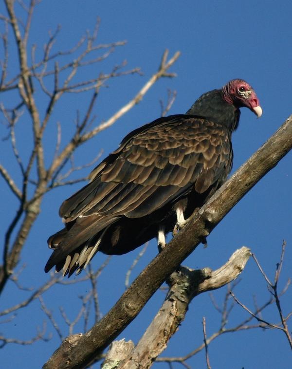 links turkey vulture