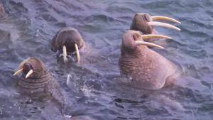walruses_300