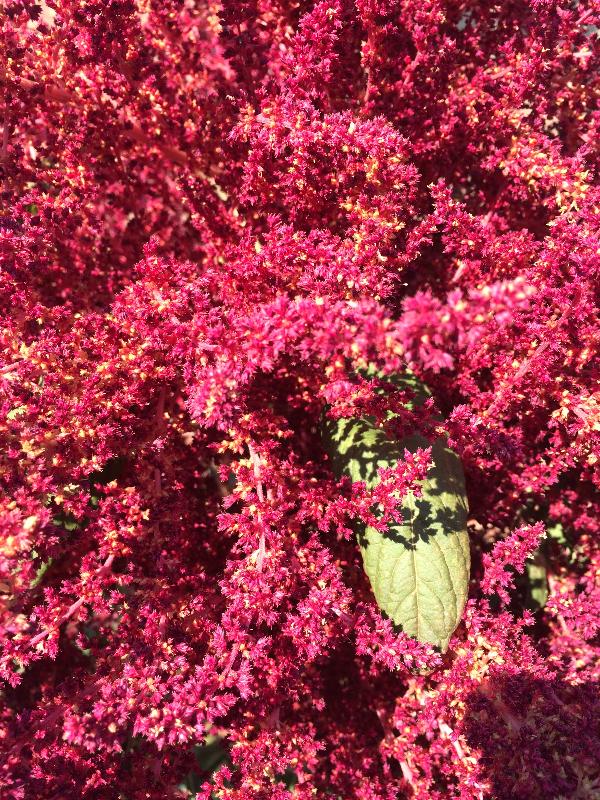 Amaranth October 2015