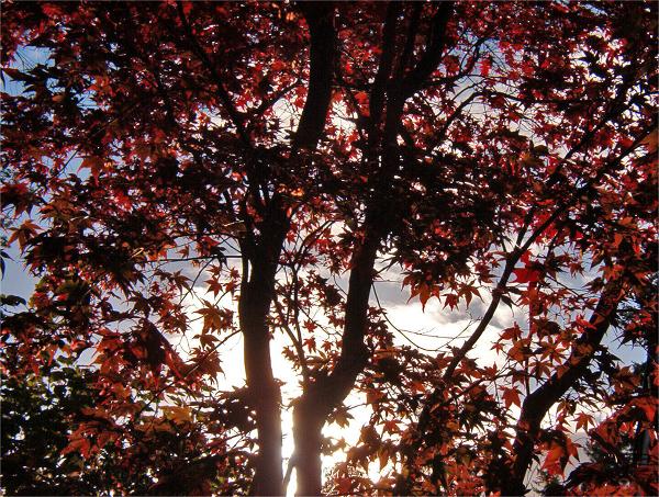 Japanese Maple