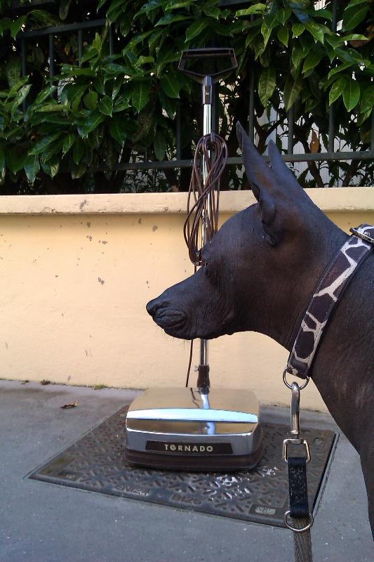 peruvian naked dog links