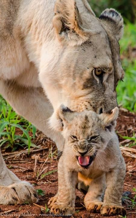 cranky lion cub links