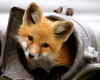 cute baby fox links