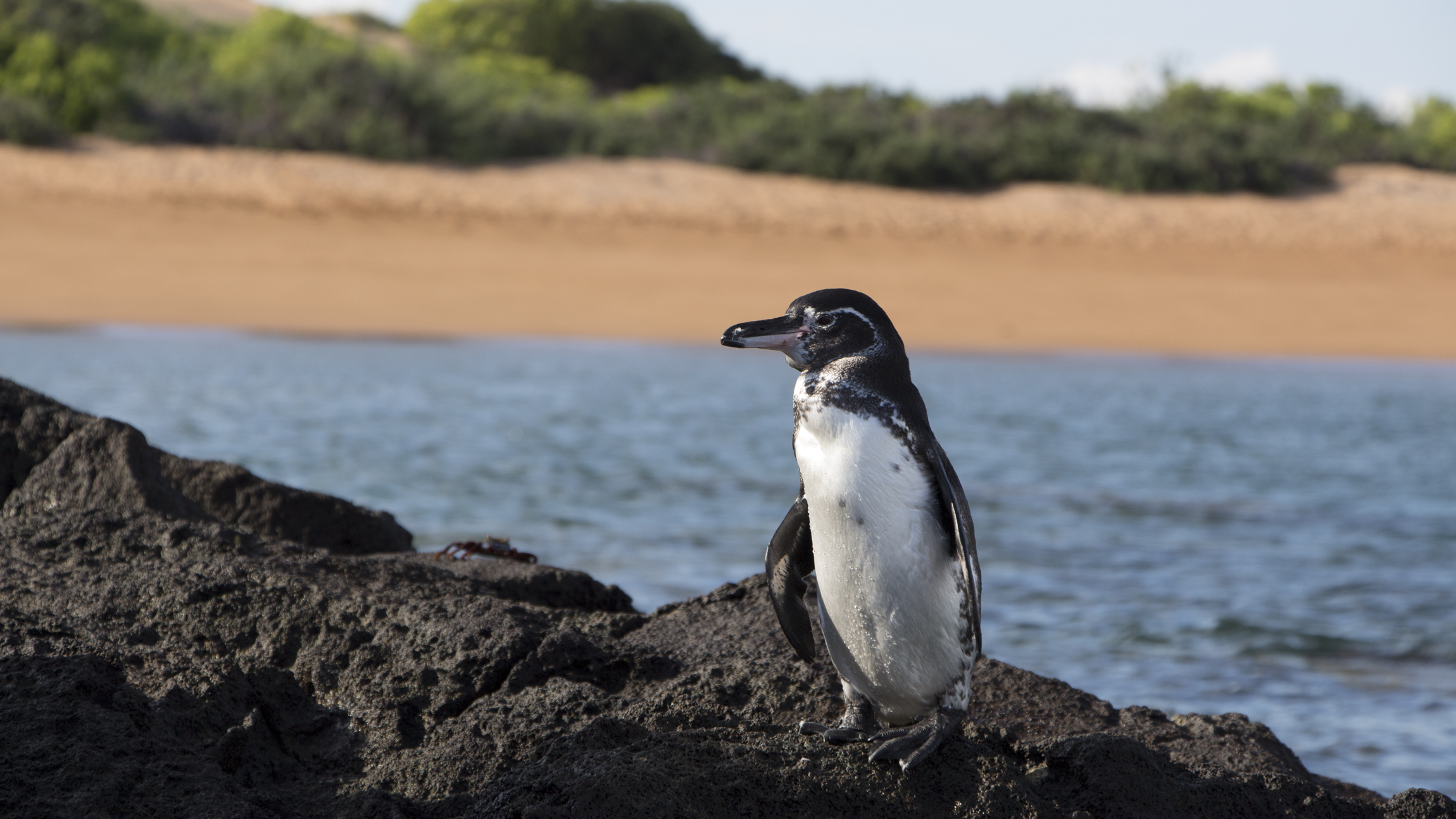 galapagos penguin links