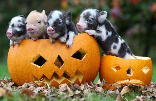 halloween piglets links