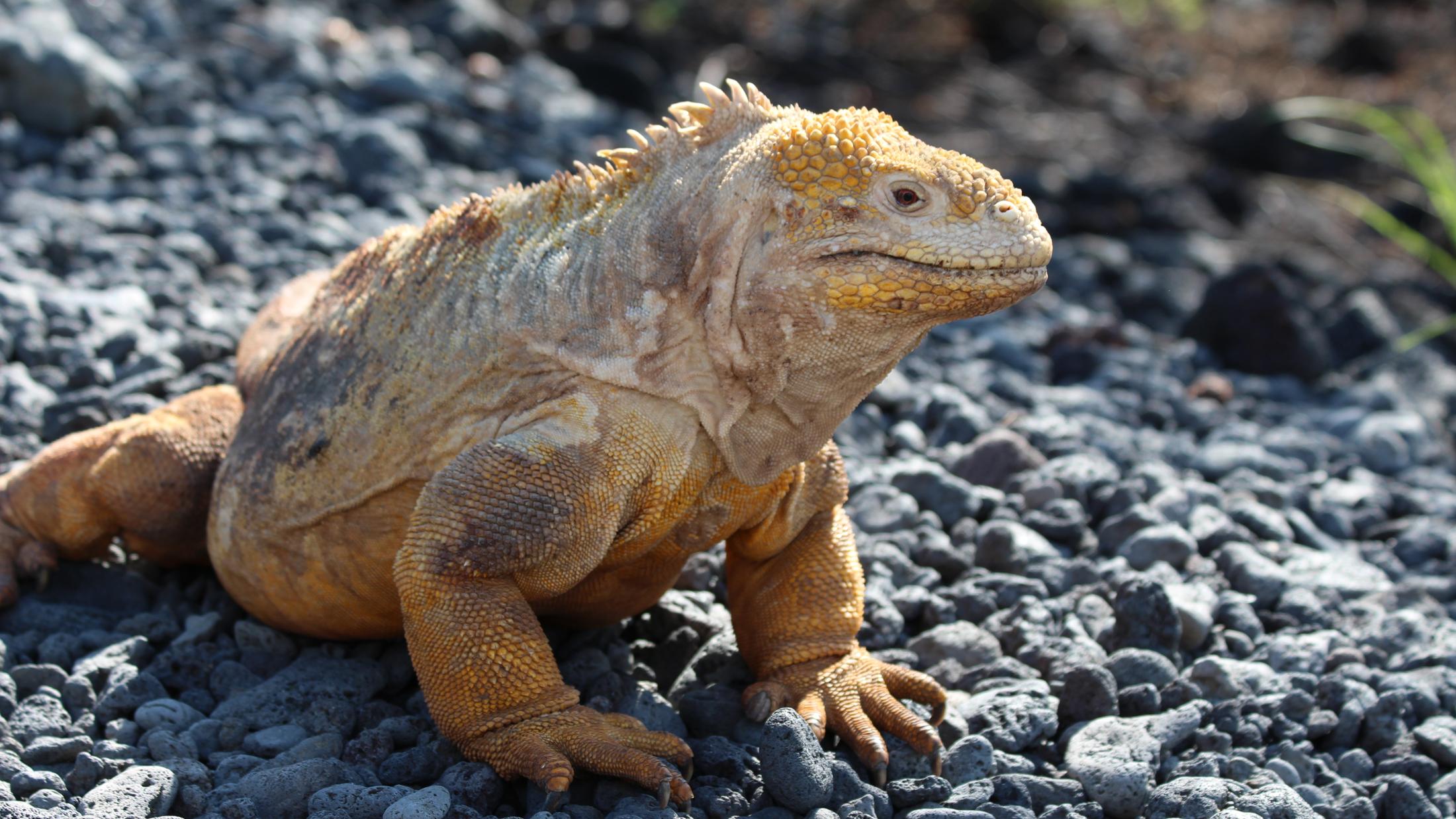 iguana links