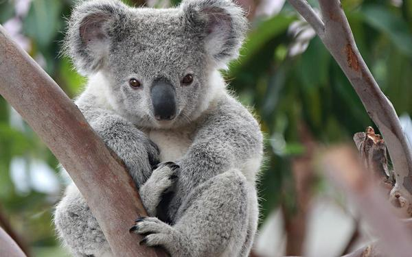 links koala