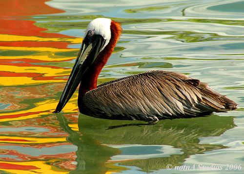pelican links
